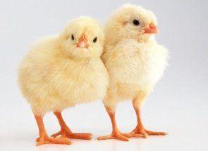 Розкриваємо секрети комбікормів для харчування курчат і вчимося їх готувати