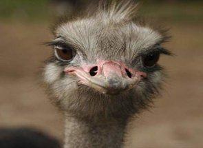 Розкриваємо секрети харчування страусів