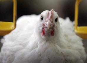 Розкриваємо всі секрети успішного вирощування бройлерних курчат