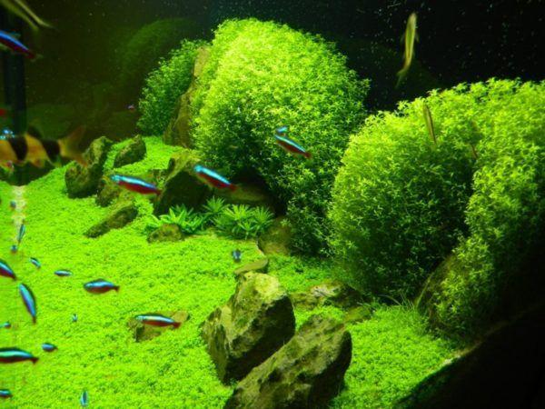 Рослина хемиантус - зелена галявина в акваріумі