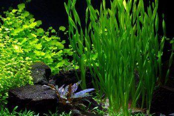 Рослини для вашого акваріума