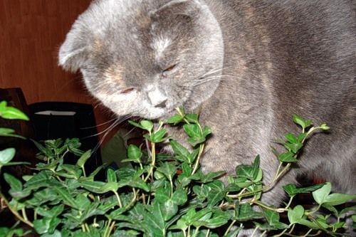 Отруйні для кішки рослини