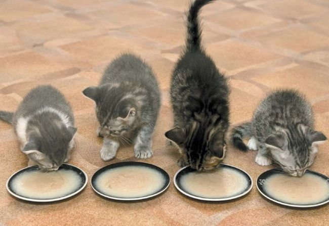 кошенята їдять кашу