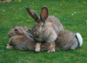 Розрізняємо хлопчика кролика від дівчинки