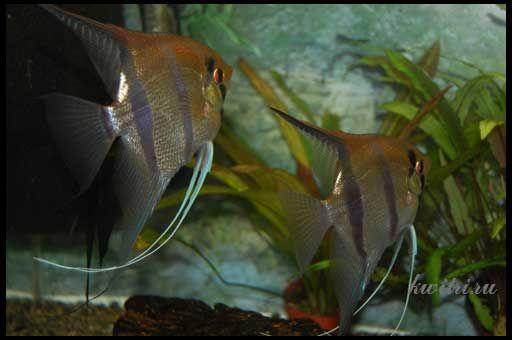 Розмноження скалярій в загальному акваріумі