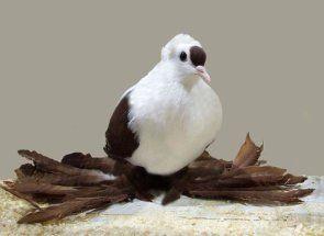 Різнокольорові голуби-красені: огляд пернатих
