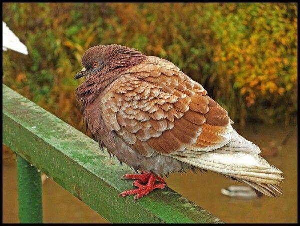 Підвид рудого голуба