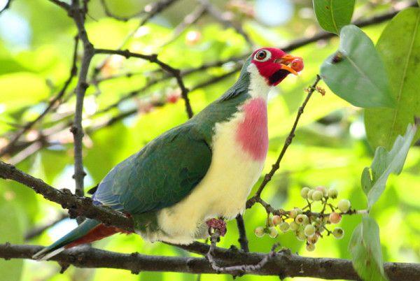 Рідкісний рожевий голуб