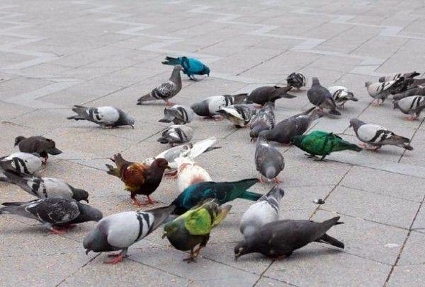 Сірі голуби на прогулянці