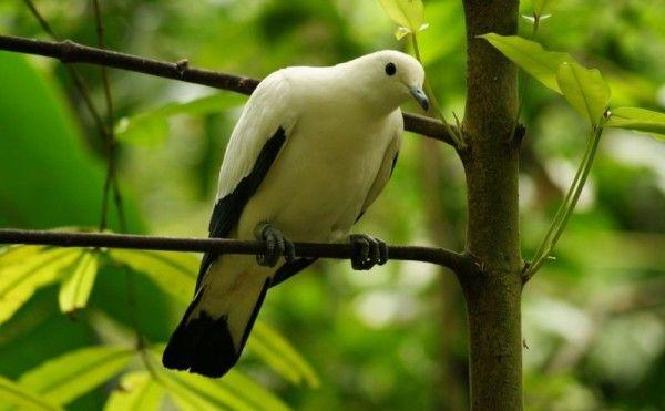 Чорно-білий голуб