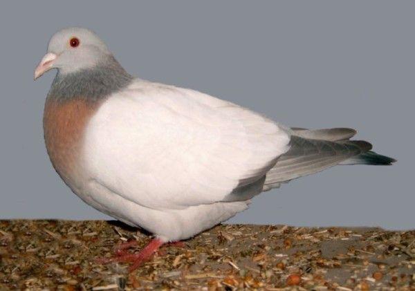 Окремий вид бурого голуба