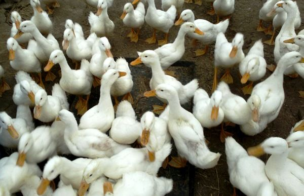 Білосніжні предки Пекінських качок