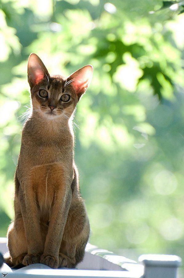 Розведення абіссінської кішки