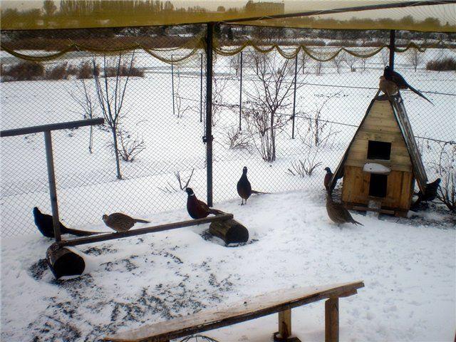 Розведення фазанів в бурятії
