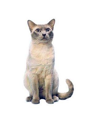 Розведення кішок. Коротка історія