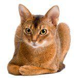 Розведення кішок, коротка історія