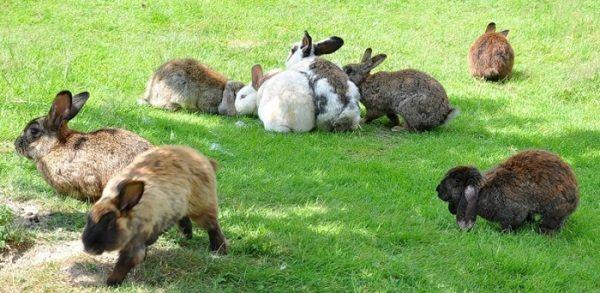 Розведення кролів: з чого почати?