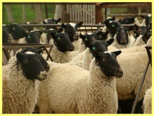 Розведення овець як бізнес
