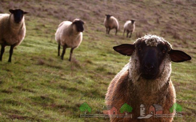Розведення овець - прибутковий і перспективний бізнес