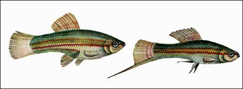 Розведення риб в домашніх умовах