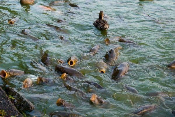 Вирощування риби в басейні