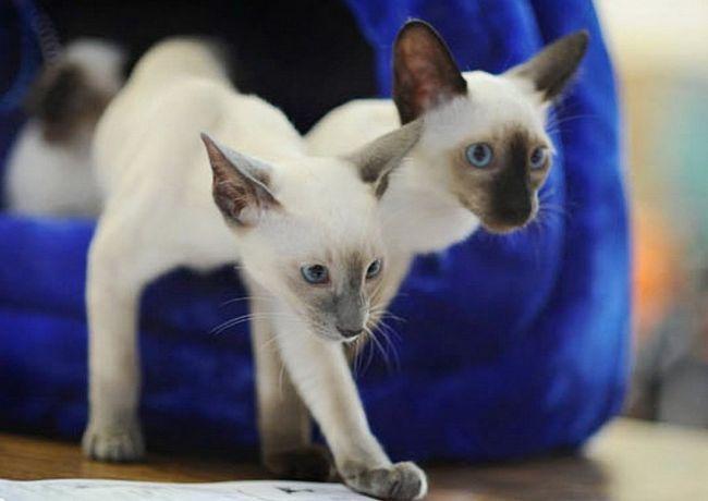 Розведення сіамських котів