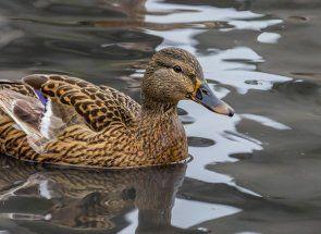 Розведення, утримання та тренування підсудний качки