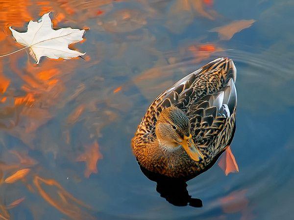 Подсадная качка в осінньому водоймі