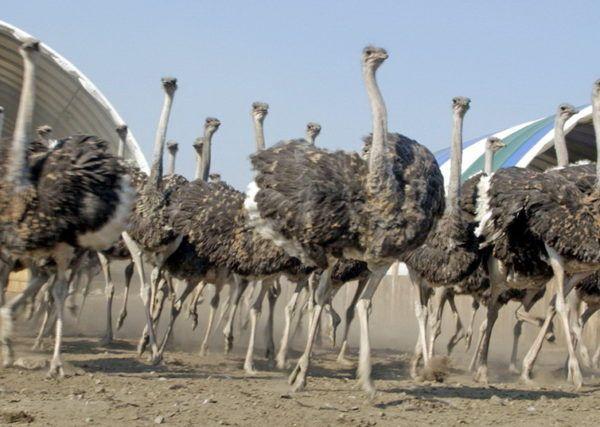 Розведення страусів в домашніх умовах як бізнес відео