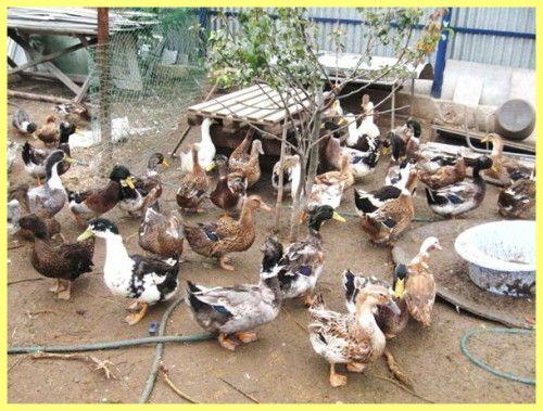Розведення качок в домашніх умовах як бізнес
