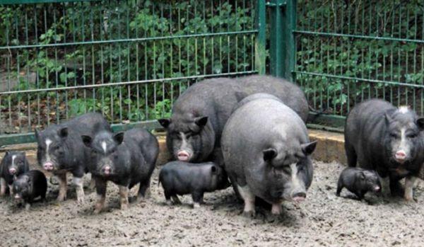 Розведення в`єтнамських свиней - набагато вигідніше ніж звичайне свинарство