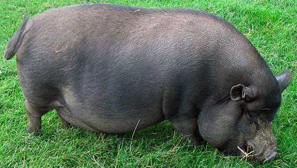 Азіатська свиня на траві