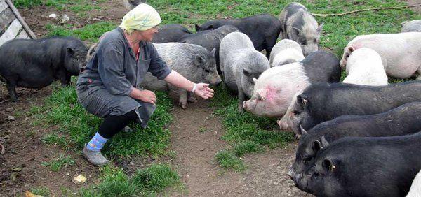 Зміст в`єтнамських свиней