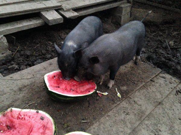 Свині їдять кавун