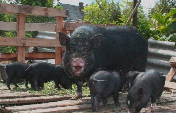 В`єтнамські свині в загоні