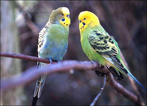 Розведення хвилястих папужок