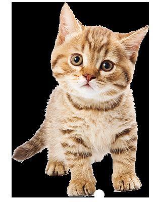 розвиток кошеня