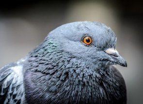 Розводимо голубів: що потрібно знати кожному птахівників?