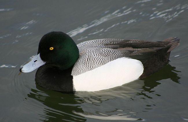 Річкові тихі і прекрасні нирці - дикі ниркові качки!