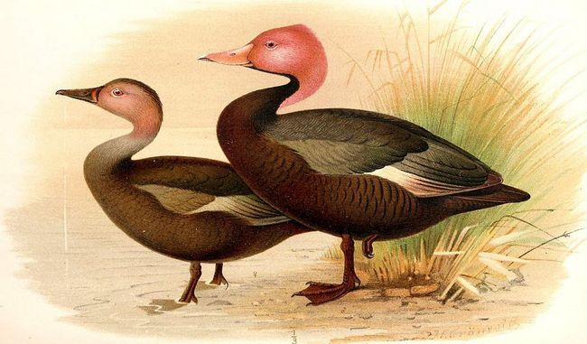 Самець і самка розовоголовой качки