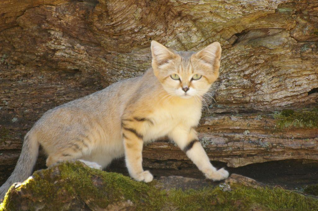 оксамитова кішка