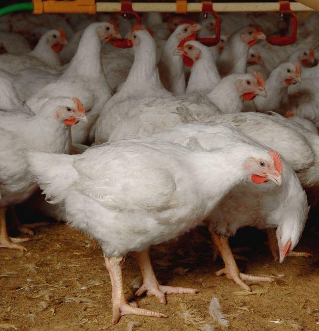 Дорослі бройлери в курнику