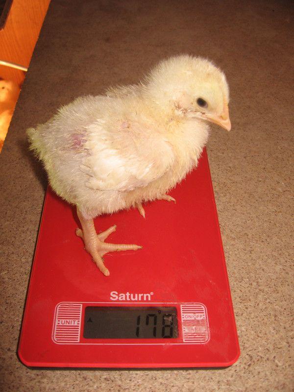 Курча породи РОСС-708 коштує на вагах