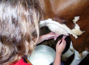 Вирішили завести корову? Дізнайтеся як її правильно доїти