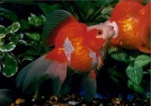 Рюкін (золота рибка)