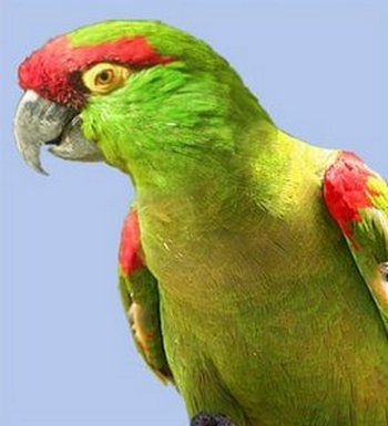 Рід аровідние або толстоклювая папуги (rhynchopsitta) аровідний або толстоклювая попугайrhynchopsitta pachyrhyncha