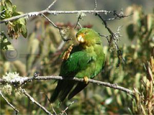 Рід bolborhynchus (толстоклювая папуги) толстоклювая папуга краснолобийbolborhynchus ferrugineifrons