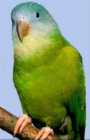 Рід brotogeris (узкоклювие папуги) сірощокий тонкодзьобий попугайbrotogeris pyrrhopterus