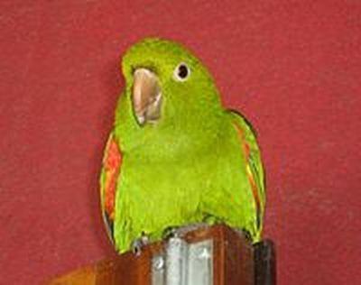 Рід brotogerisтонкоклювий папуга краснокрилийbrotogeris chrysopterus