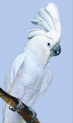 Рід cacatua (какаду) білий або великий белохохлий какадуplyctolophus alba (cacatua alba)